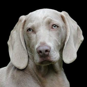 grey dog face