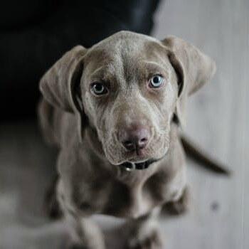 weimaraner-puppy-dog