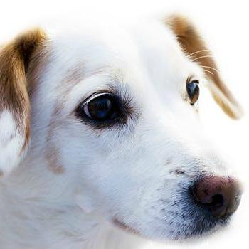 white dog face