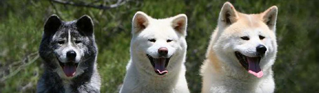 american_white_and_japanese_akita_dogs