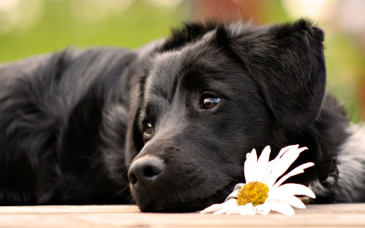 black-lab-dog
