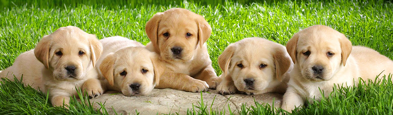 yellow-labrador-puppies-in-garden-web-header